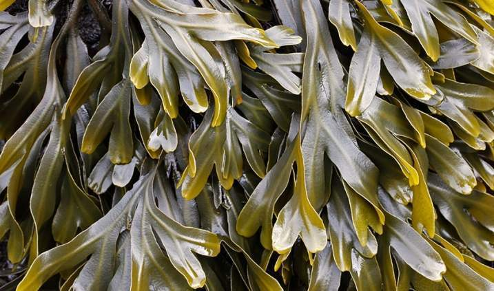 Seaweed: Safe and Effective Treatment of Reflux Disease